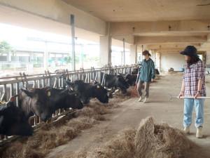 白保の暮らし体験 稼業体験(畜産農家)