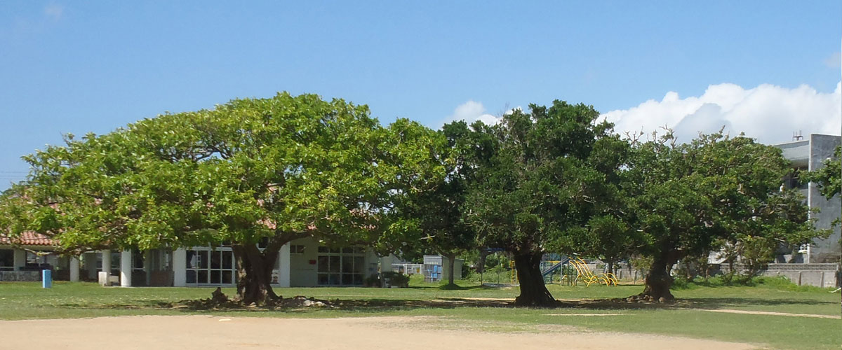 白保小学校の三本木(オオバアコウ、カジュマル、デイゴ)